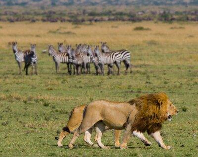 Fototapet Möte lejon och lejoninna på savannen. Nationalpark. Kenya. Tanzania. Masai Mara. Serengeti. En utmärkt illustration.