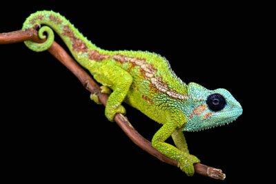 Fototapet Mount Hanang Chameleon (trioceros hanangensis)