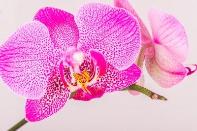 Fototapet Närbild av orkidé blomma