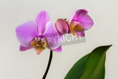 Fototapet Närbild av pastell orkidé blomma. Zen i blommans konst. Makrofotografering av naturen.