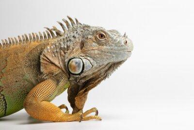 Fototapet Närbild Green Iguana på vit bakgrund