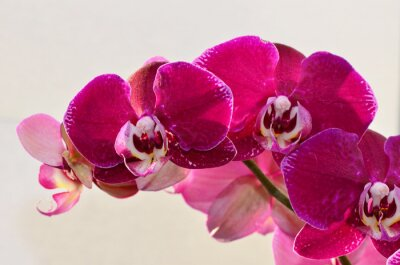 Fototapet närbild lila Orchide