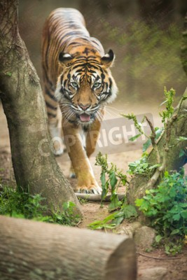 Fototapet Närbild på en sibirisk tiger vet också som Amur tiger (Panthera altaicaen), den största levande katt