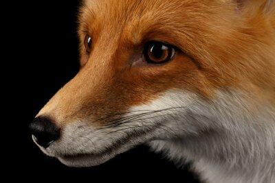 Fototapet Närbild Porträtt av Red Fox i profil isolerat på svart