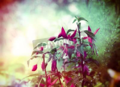 Fototapet Nätt Fuchsia blommor på sommarträdgård bakgrund närbild tonad