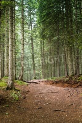 Fototapet Naturliga spruce Forest