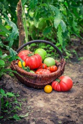 Fototapet Olika tomater på botten