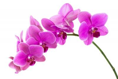 Fototapet Orkide