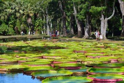 Fototapet Pamplemousess botanisk trädgård i Mauritius
