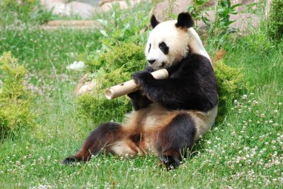 Fototapet Panda 1