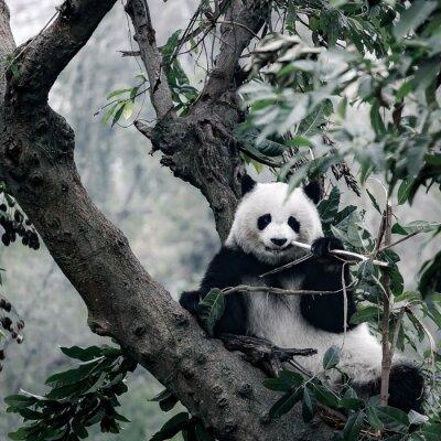 Fototapet panda på träd