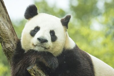 Fototapet Panda Porträtt