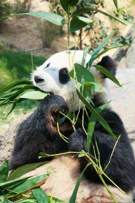 Fototapet Panda som äter bambu