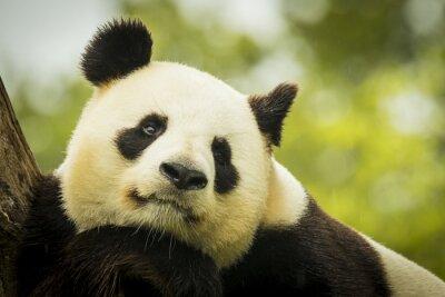 Fototapet Panda vaken