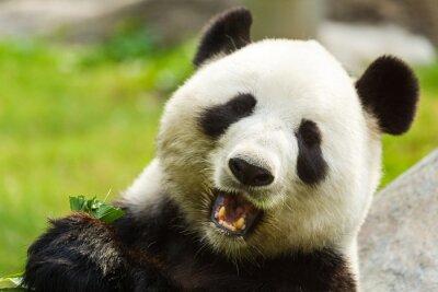 Fototapet Pandabjörn som äter bambu