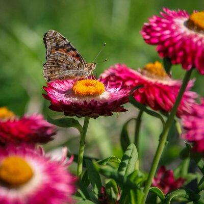 Fototapet papillon