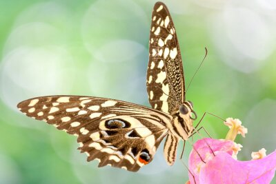 Fototapet papillon sur fleur de Bougainvillee