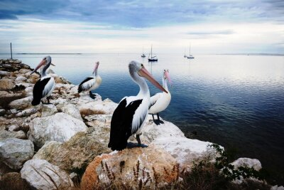 Fototapet Pelicans, Kangaroo Island, Australien