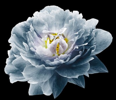Fototapet Peony flower blue on the black isolated background with clipping path. Nature. Closeup no shadows. Garden flower.
