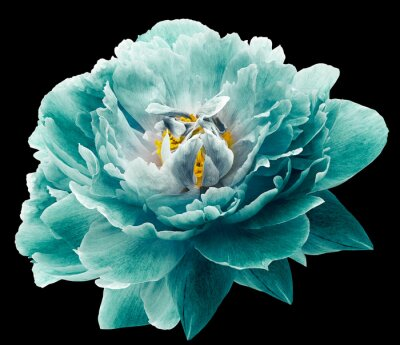 Fototapet Peony flower turquoise on the black isolated background with clipping path. Nature. Closeup no shadows. Garden flower.