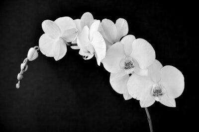 Fototapet Phalaenopsis Aphrodite orkidé, i svart och vitt