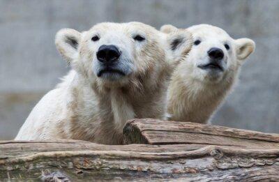 Fototapet Polar björnfamilj