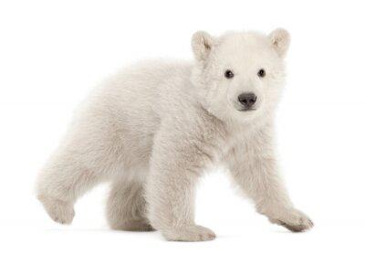 Fototapet Polar björnunge, Ursusmaritimus, 3 månader gammal