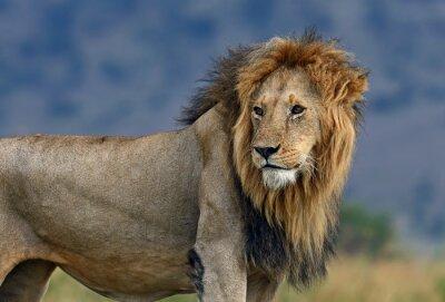 Fototapet Porträtt av afrikanska lejon