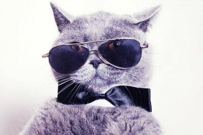 Fototapet Porträtt av brittiskt korthår grå katt med solglasögon