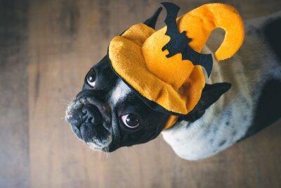 Fototapet Porträtt av fransk bulldog med hatt halloween