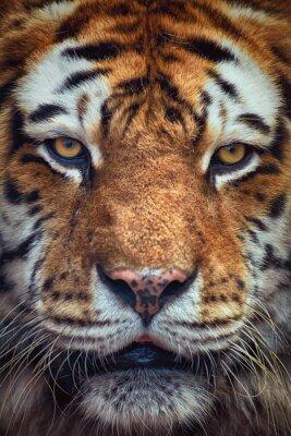 Fototapet Porträtt av Tiger