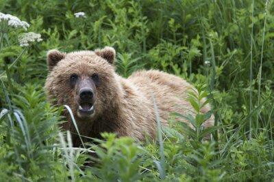 Fototapet Porträtt av vilda fri roaming brunbjörn