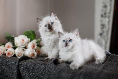 Fototapet Ragdoll blått pekar liten kattunge
