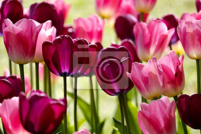 Fototapet red and pink tulip flowers