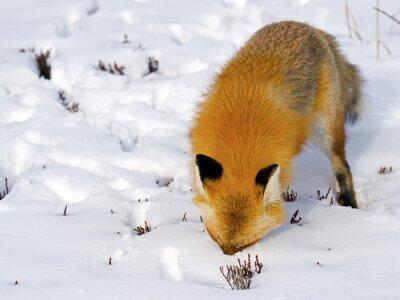 Fototapet Red Fox Face i Snow