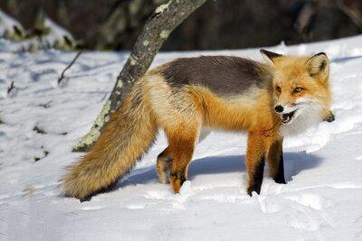 Fototapet Red Fox i snön