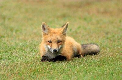 Fototapet Red Fox Kit posera en gräsäng, PEI, Kanada