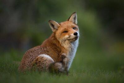 Fototapet Red Fox sitter i gräset