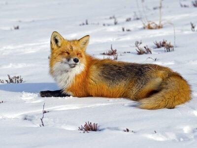 Fototapet Red Fox Sola i snön