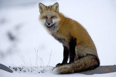 Fototapet Red Fox vilar