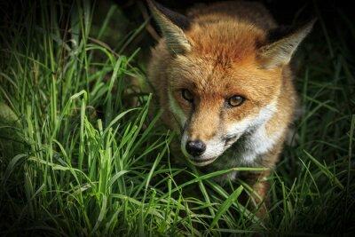 Fototapet Red Fox (Vulpesvulpes)