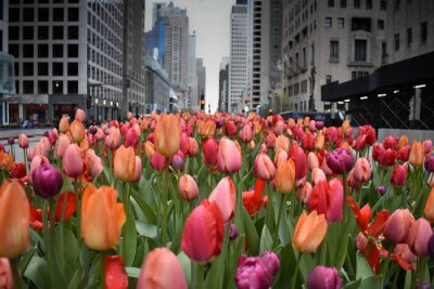 Fototapet red tulips in Chicago downtown