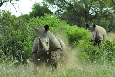 Fototapet rhino laddning