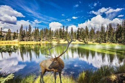 Fototapet Röd hjort med förgrenade horn kostar på charmiga sjö