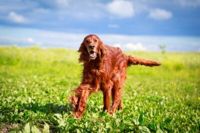 Fototapet Röd irländsk setter hund