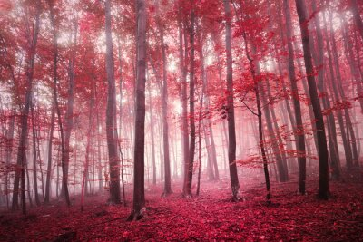 Fototapet Röd mättad mystisk höstsäsong bokskog landskap. Röd färgfilter ton används.