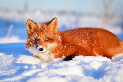 Fototapet röd räv