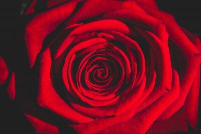 Fototapet röd ros från mörkret
