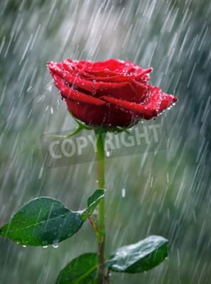 Fototapet Röd ros med vattendroppar i regnet