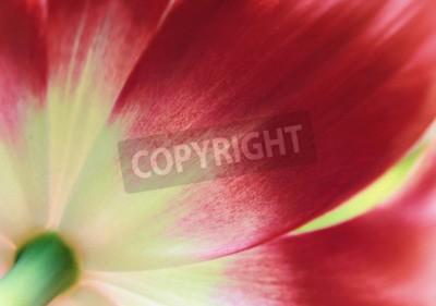 Fototapet Röd tulpan närbild, abstrakt vårbakgrund